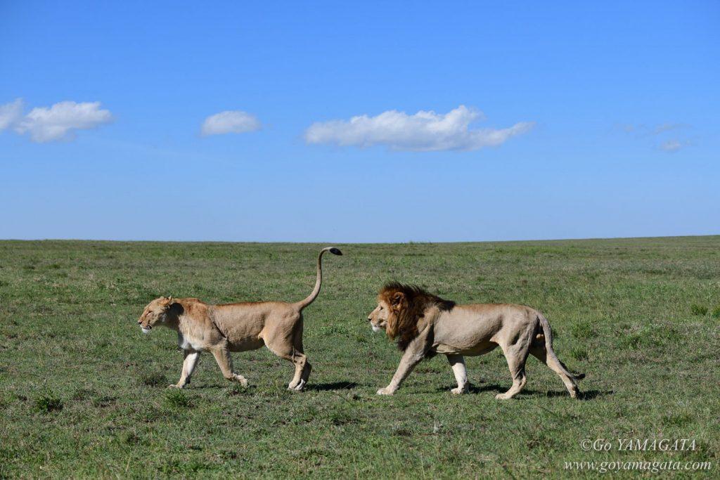 ライオンのハネムーンカップル