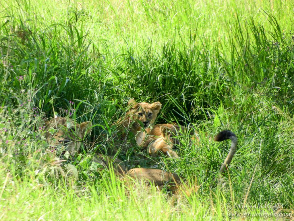 草むらの中のライオン親子
