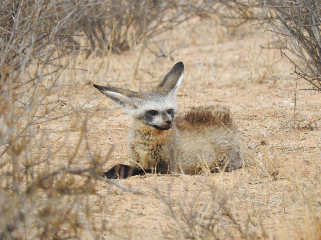 午後のサファリでは大耳ギツネが休んでいるのを見ました。