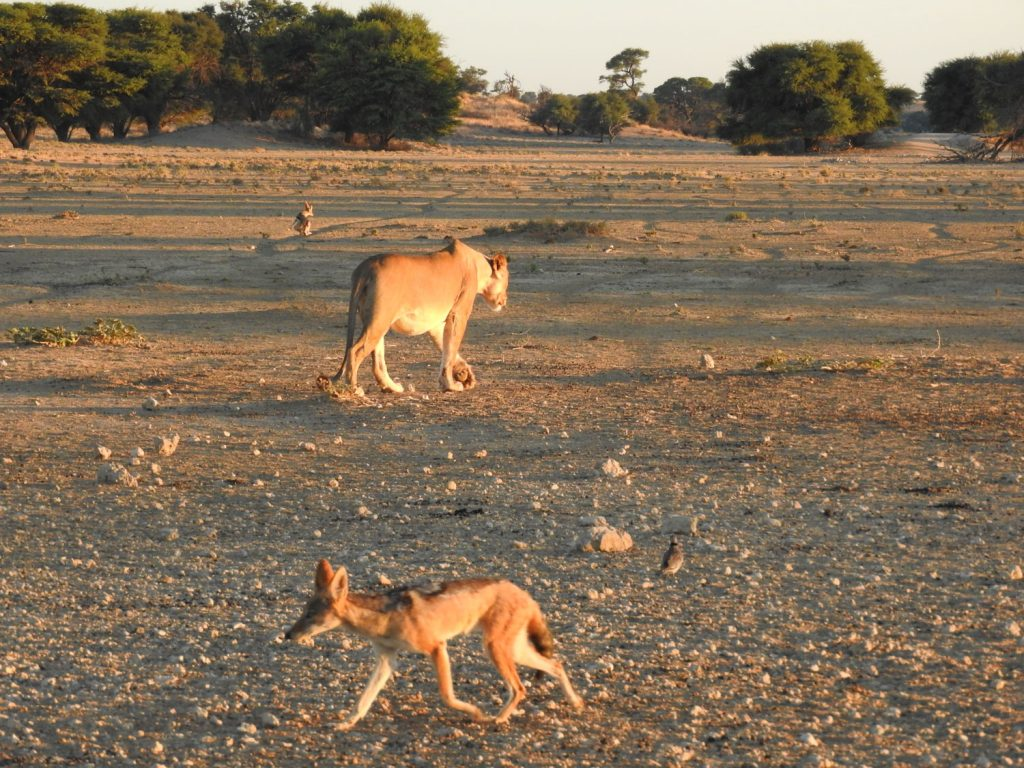 ライオンが水を飲み終わった後はすかさずジャッカルがやってきて大急ぎで飲みました。その間はライオンは30mほど離れたところでのんびりしてました。