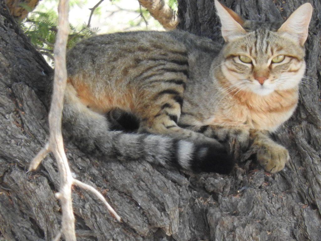 その後ワイルドキャットを発見、木の上でのんびり過ごしています。10m位の距離で逃げません。