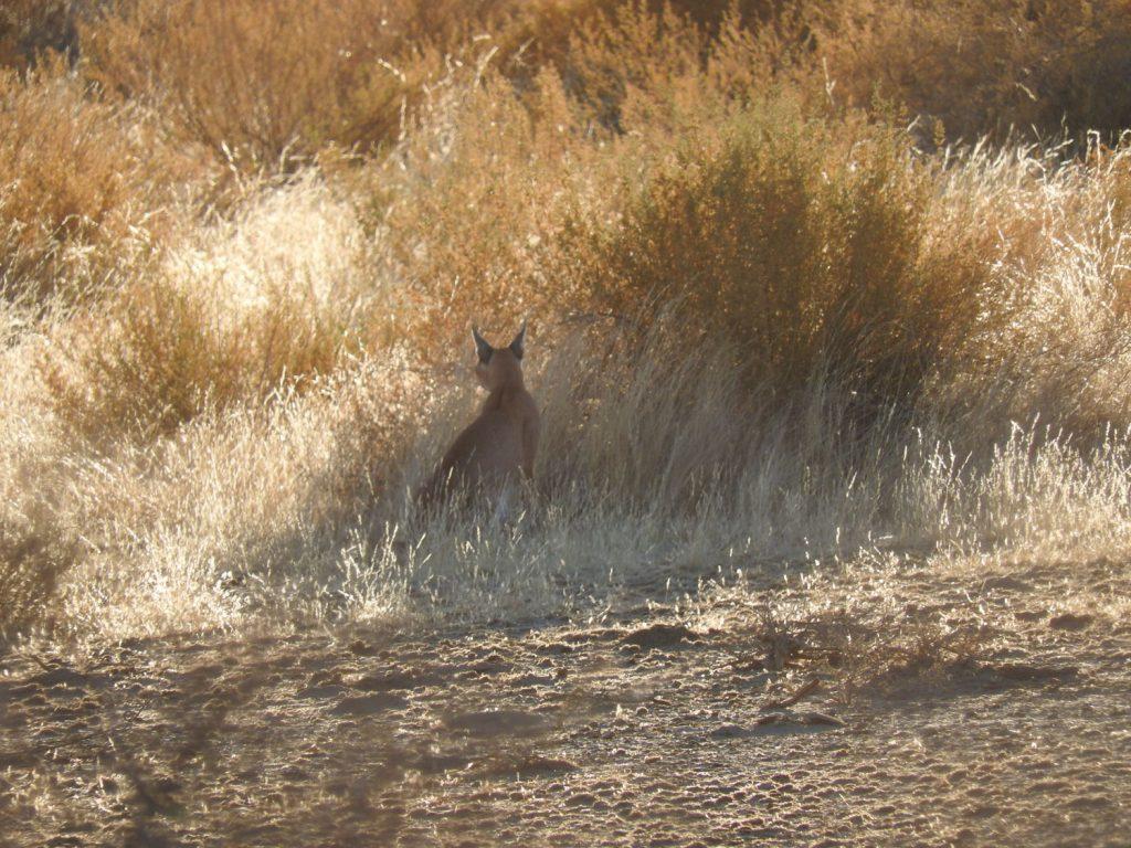朝のサファリで見かけたカラカル。今まで20回とか30回行かれたお客様でも初めて見られたというほどの希少なネコです。獲物(小鳥)を狙っていました。
