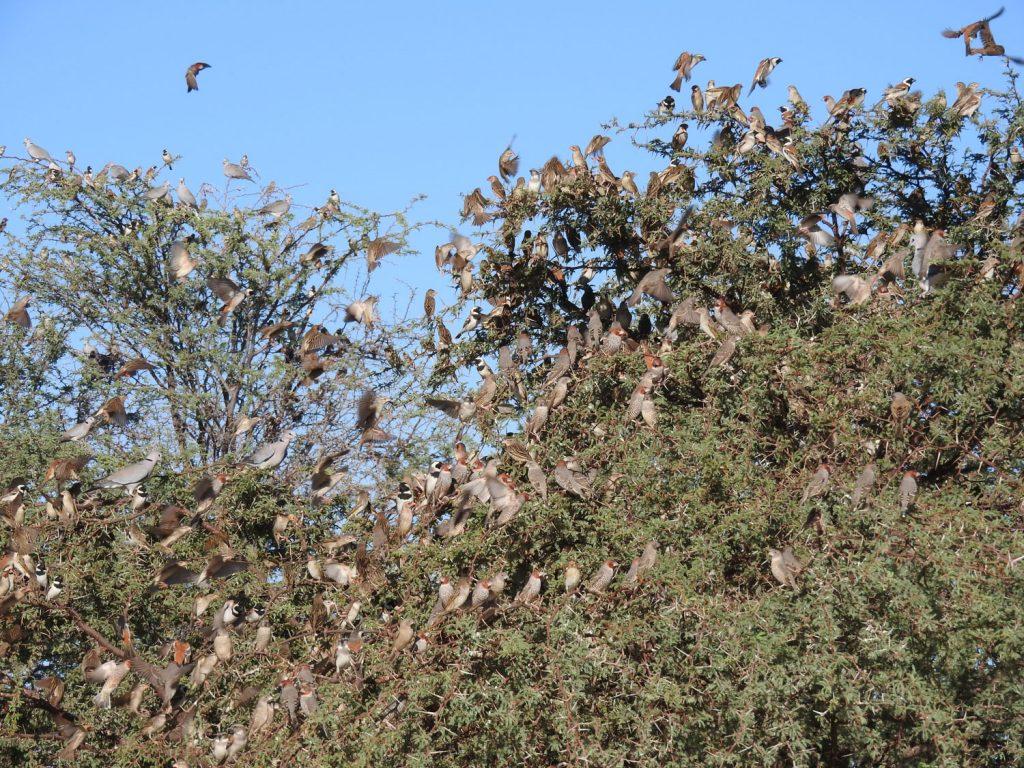 フィンチの群れもいました。主にオオイッコウチョウですが、ミカドスズメも見られました。