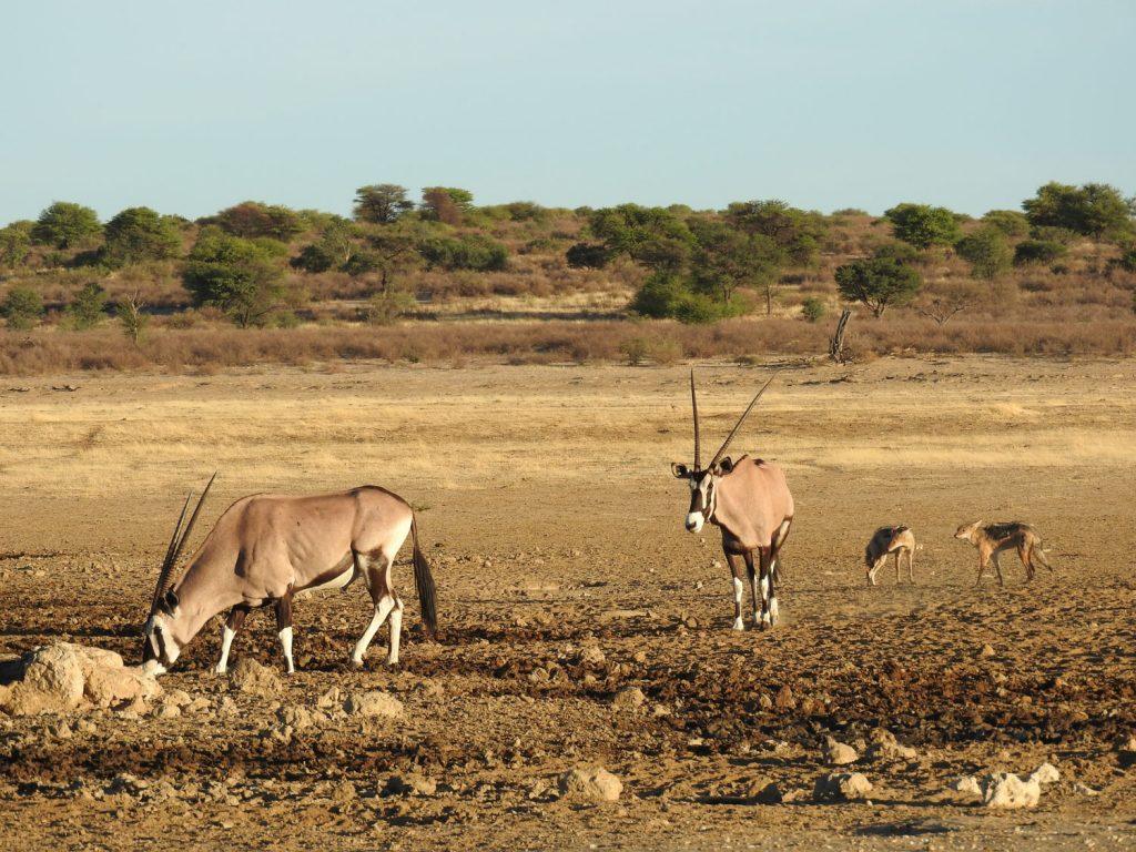 ウォーターホールに集まるオリックスとジャッカルです。セグロジャッカルですが、東アフリカに比べると模様が微妙に違います。