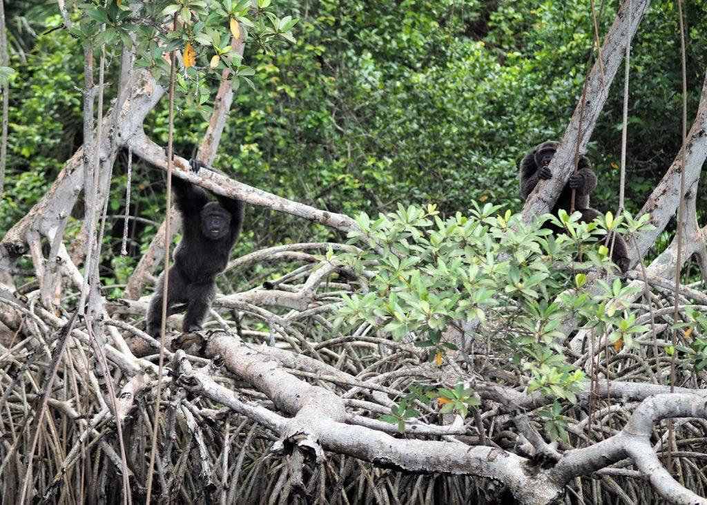 ようやく見つけました。チンパンジーです!こっちを観察しています。