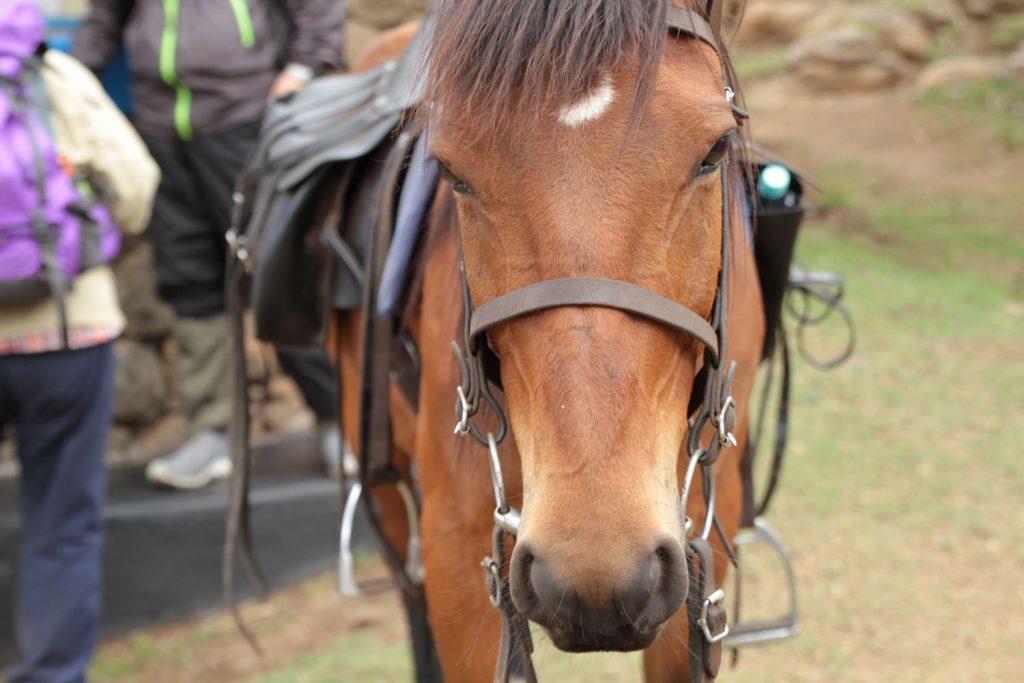 穏やかで扱いやすいレソトの馬