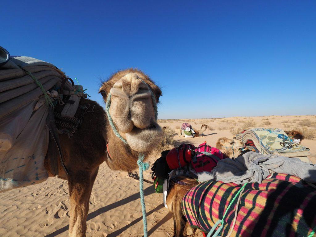 「砂漠の船」とも呼ばれるラクダ、この不思議な家畜とともに砂漠を歩きます