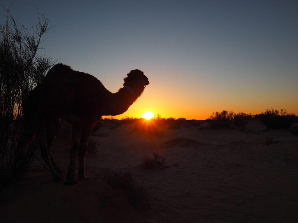 ラクダとともに眺めるサンセット