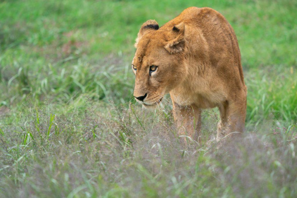 伊豆アニマルキングダムのメスライオン