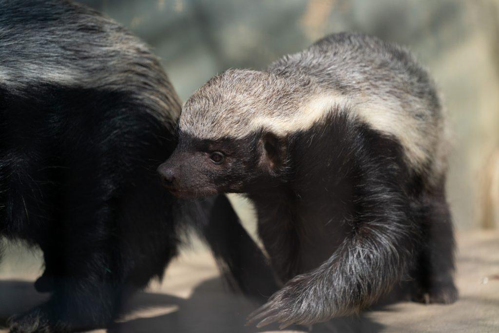 東山動植物園のラーテル2