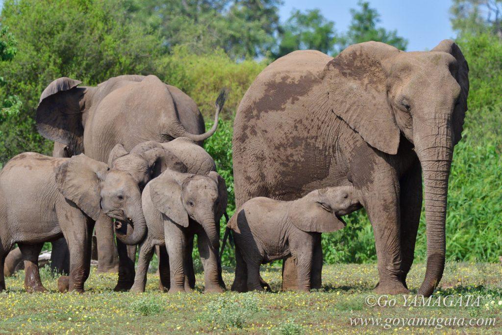 マシャトゥには約700頭ものアフリカゾウがいる