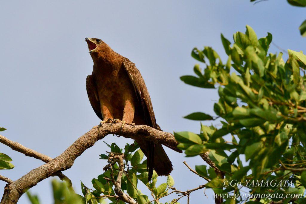 樹上で啼くヒメソウゲンワシ
