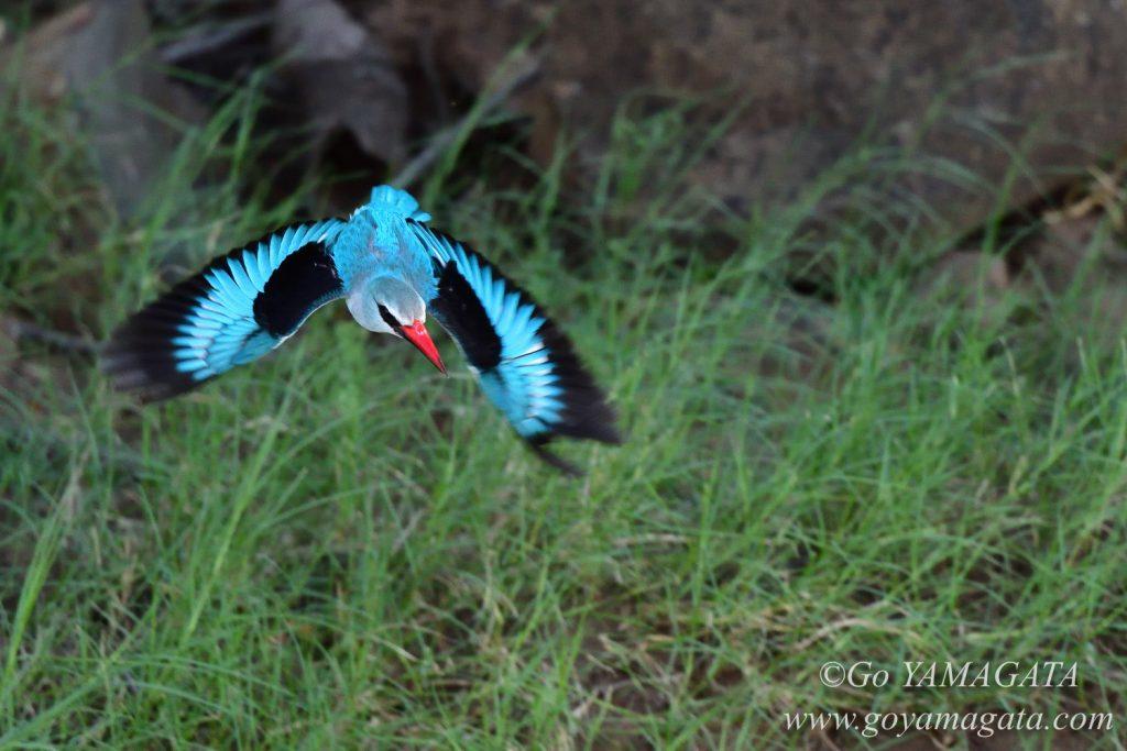 餌をめがけて飛んだセネガルショウビン
