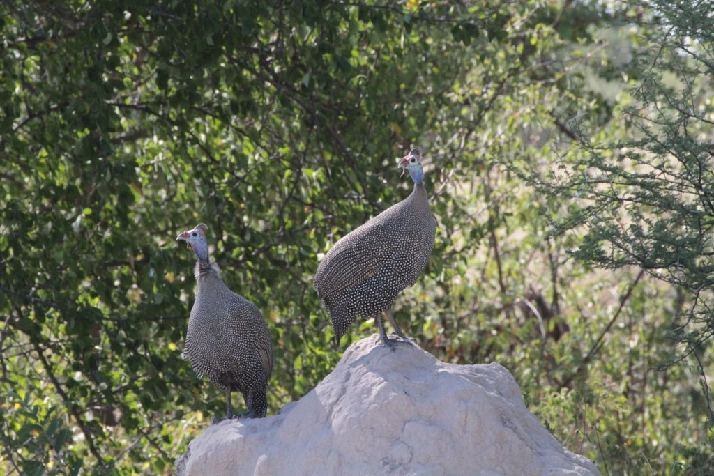 サファリではお馴染みのホロホロ鳥