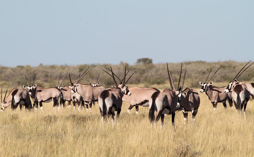 2019.4.27発 GWスペシャル ボツワナ・セントラル・カラハリ動物保護区でキャンプ 9日間