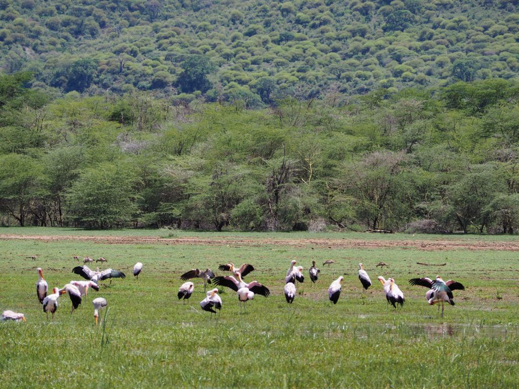 アフリカトキコウの群れ。水鳥達の楽園。