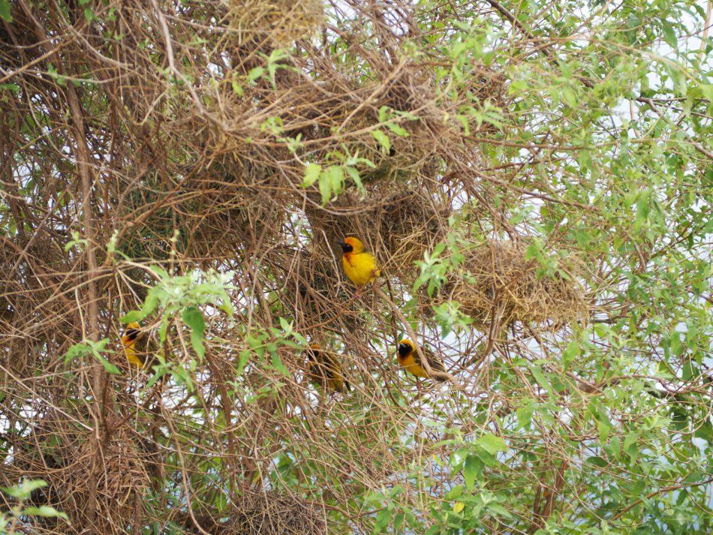 鮮やかな黄色が目に留まったカオグロウロコハタオリ。