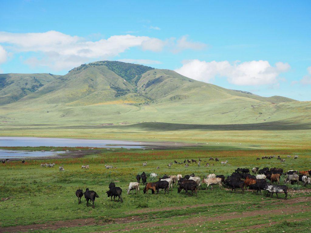 放牧の群れと、遠くにはシマウマ、ヌー。野生動物と家畜が共存する珍しい光景が広がっていました。