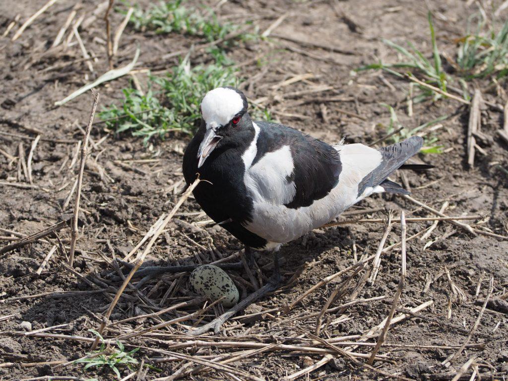 小さな卵を守るシロクロゲリ。無事に孵化しますように!