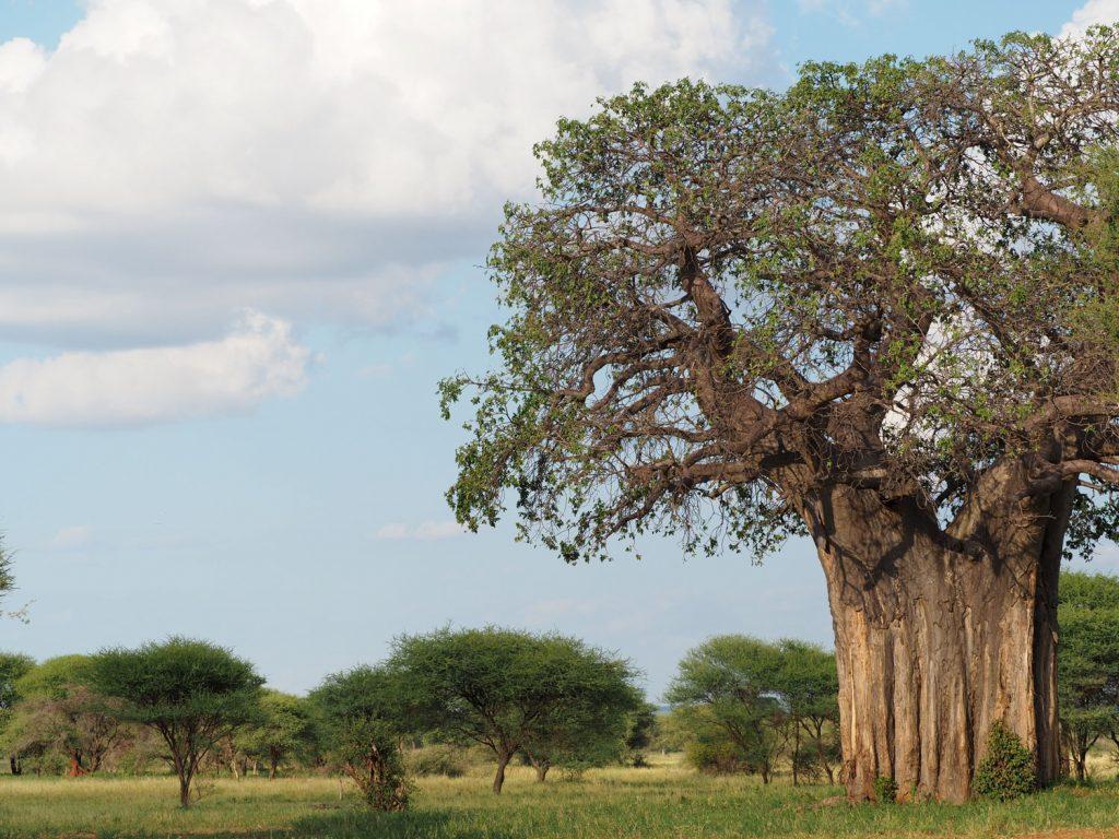 「置かれた場所で咲きなさい」そんなメッセージを伝えるバオバブの木。