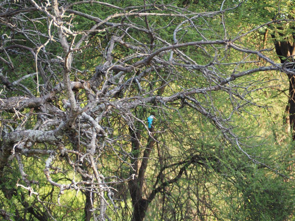 タランギレ川沿いで見かけたハイガシラショウビン