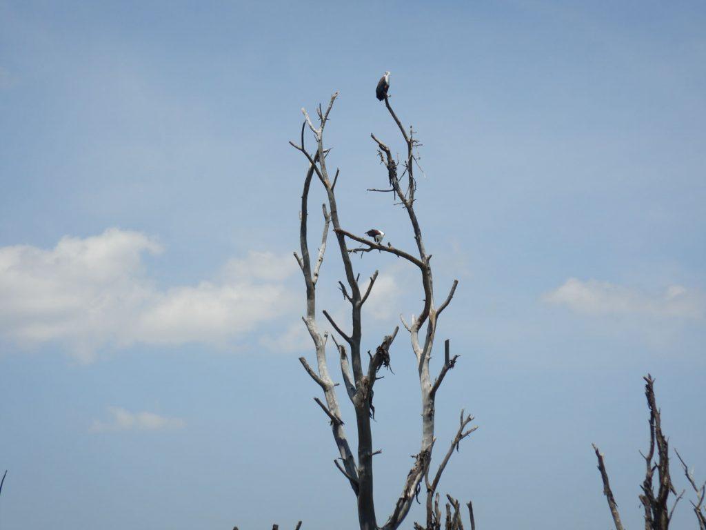 サンショクウミワシも2羽いました。