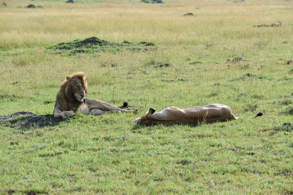ハネムーン中のライオンに出会いました。