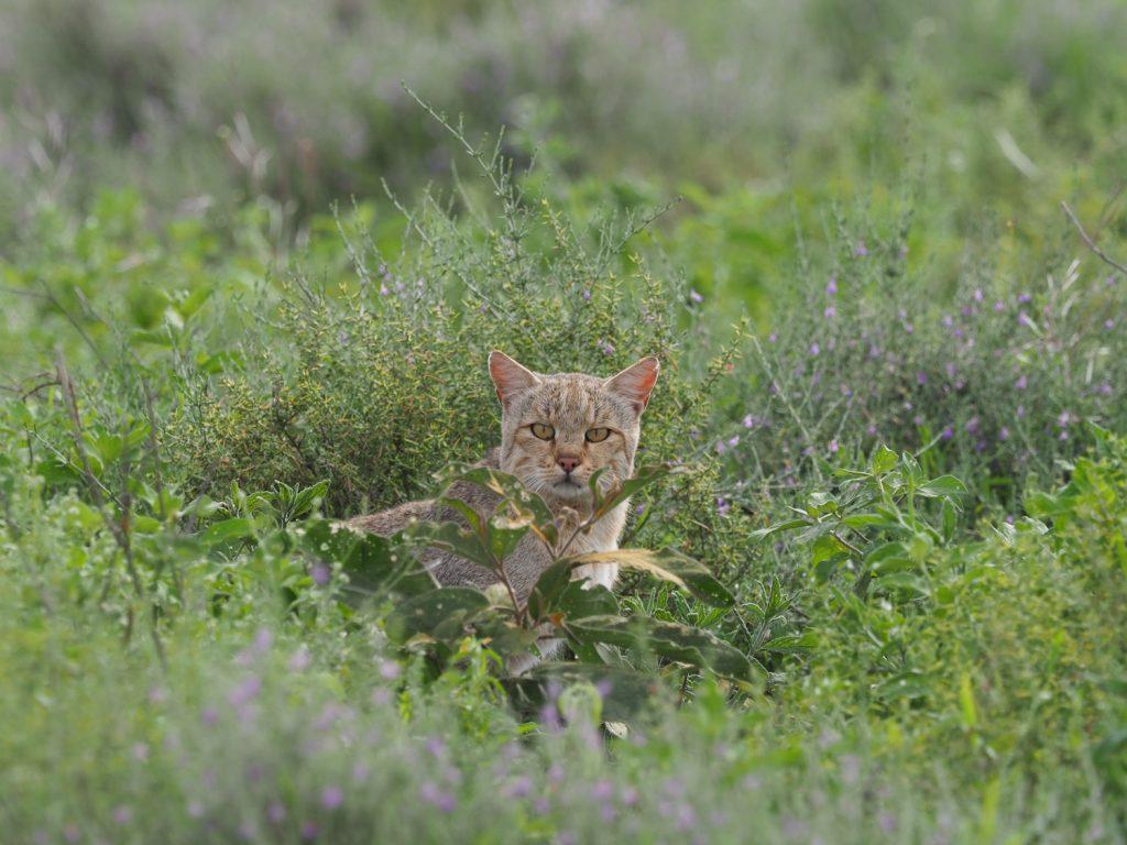 丈の高い草が巣穴を隠すからか、安心してこちらをうかがうリビアヤマネコ