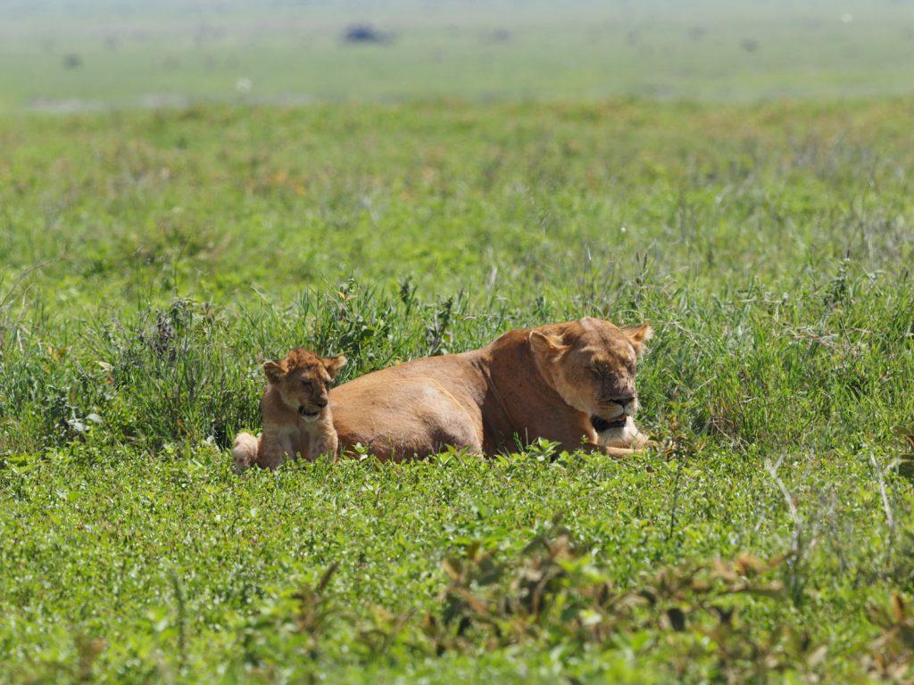 暑さでお疲れの様子のライオン親子