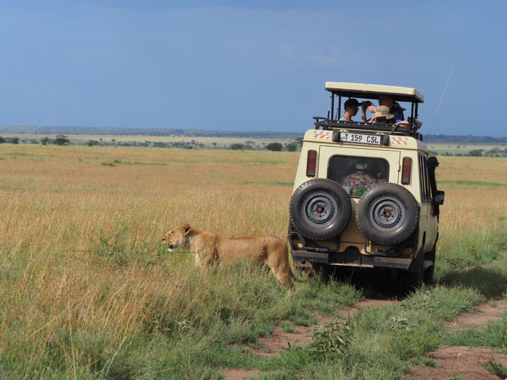 サファリカーのすぐ後ろを通って仲間の元に向かうメスライオン