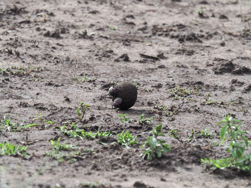 サバンナの生態系を底辺から支えるフンコロガシ