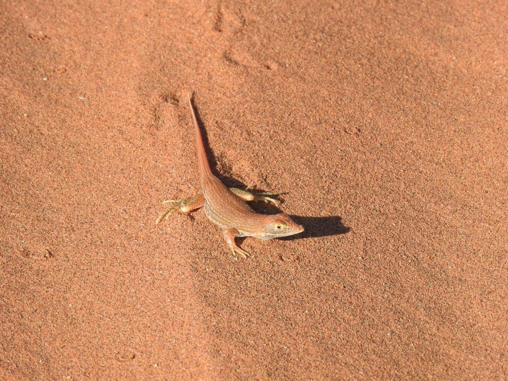 砂漠のトカゲです。過酷な環境の中でもしっかり生きています。