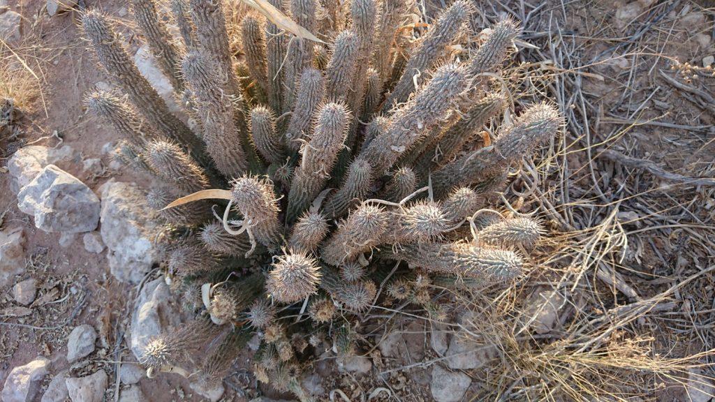 フーディアというサボテンに似た植物です。サンの人が狩りに行くとき、空腹を感じないので使っていたそうです。ダイエット用品として利用されているそうです。