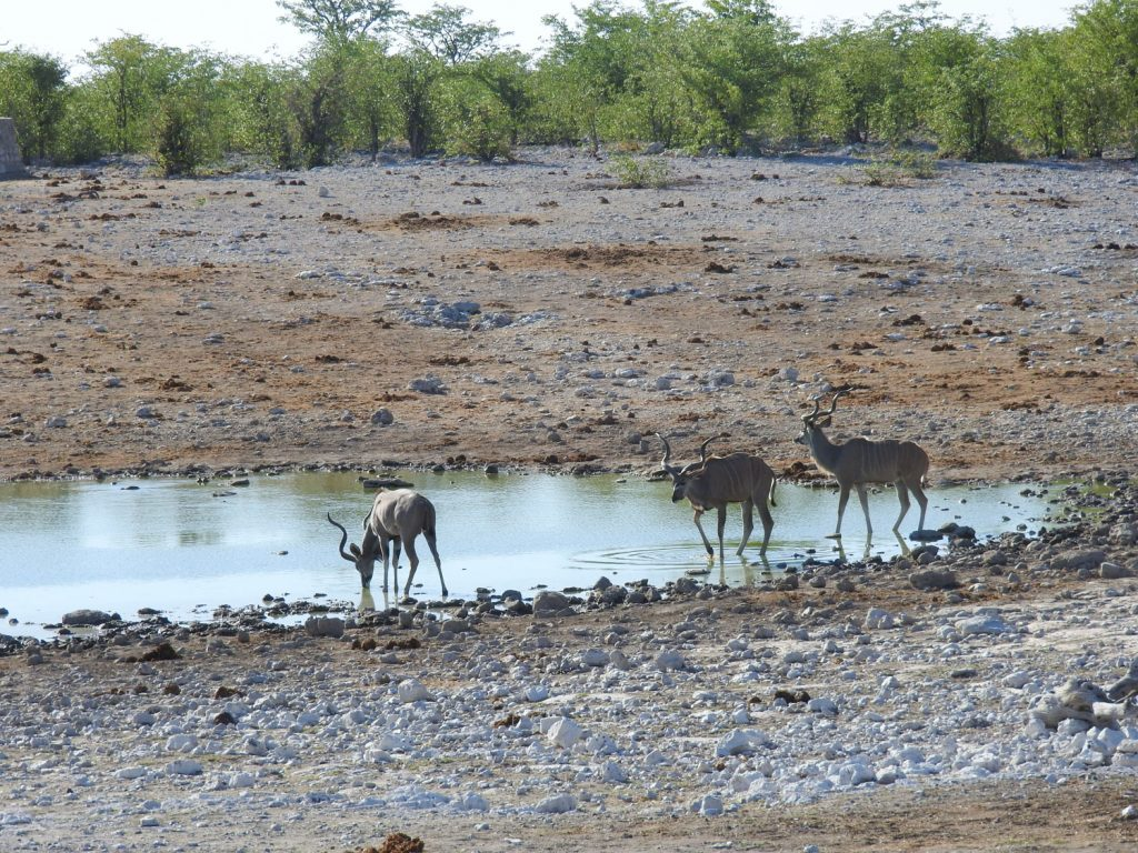 エトーシャ国立公園ではウォーターホールという水飲み場に動物がやってきます。