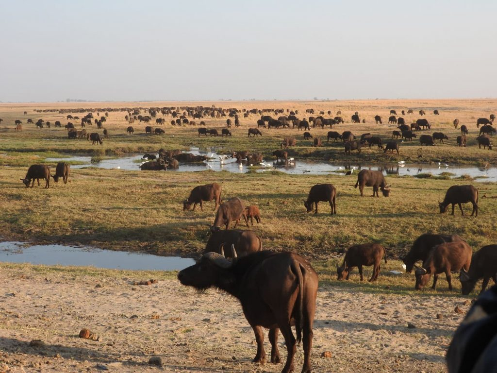 乾季はチョベ川に動物が集まります。500頭以上のバッファローがいました。