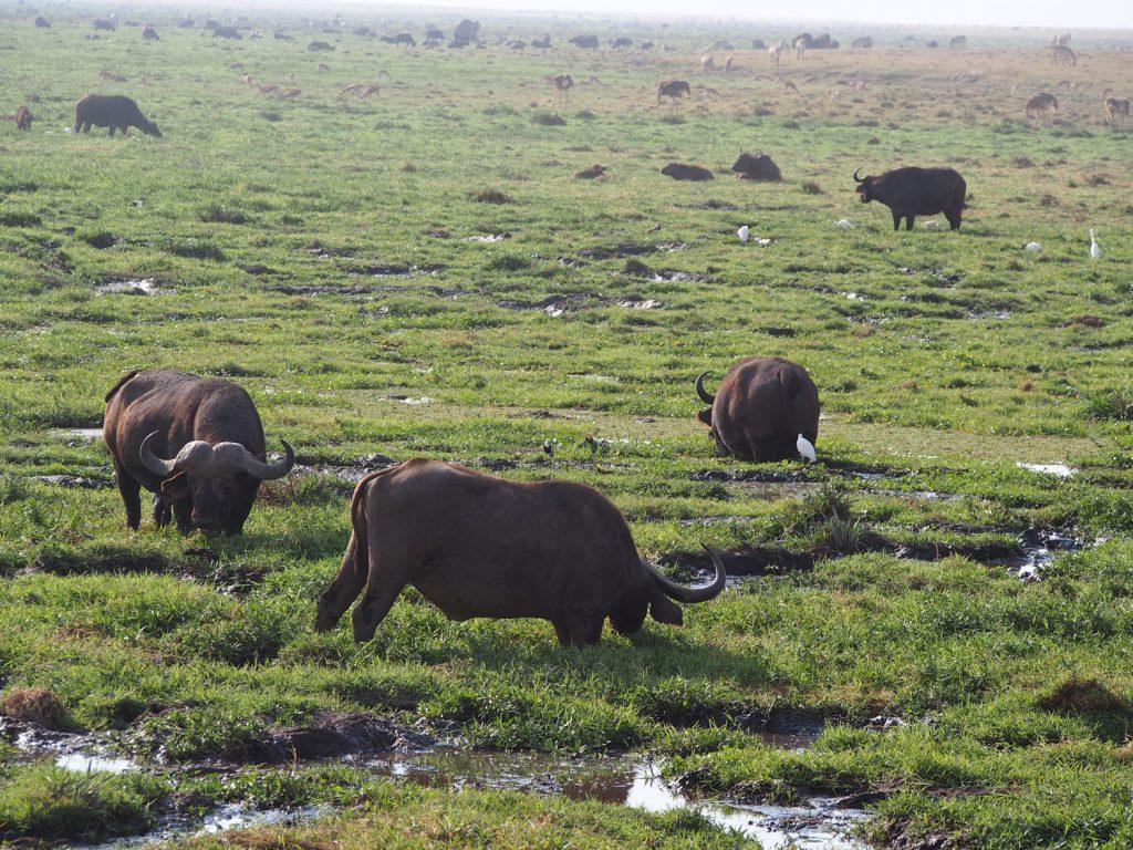 湿地帯で食事をするバッファロー達