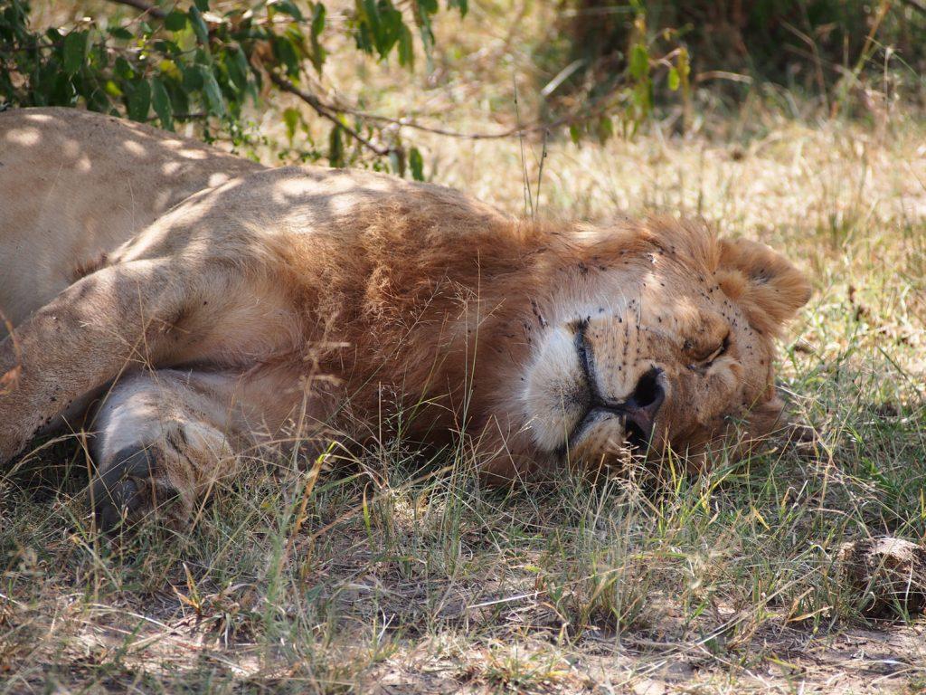 日陰でのんびり休むライオン