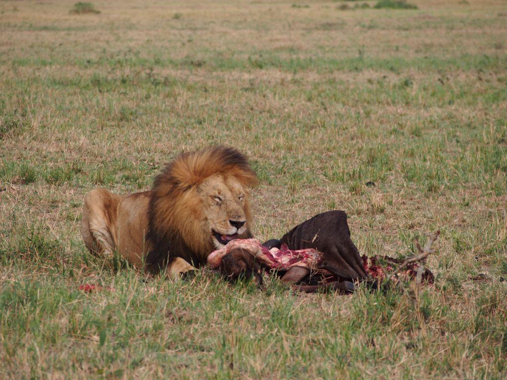 最後の早朝サファリでは豪快に食事をとるライオンにも会えました。にっこり笑っているかの表情です。