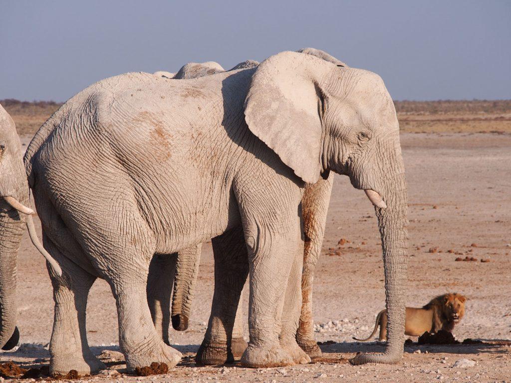 ゾウとライオンのコラボレーション