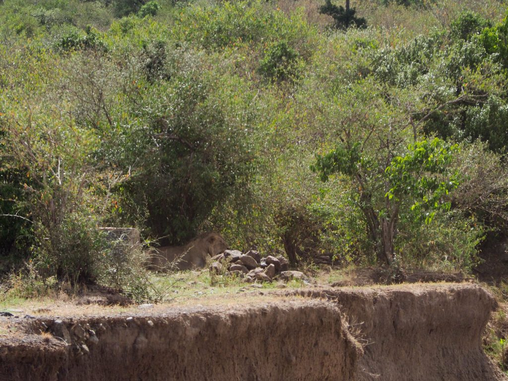 対岸の茂みに隠れるのはオスライオン。