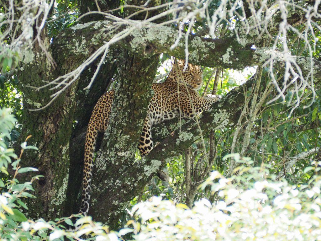 木の上でくつろぐヒョウも。